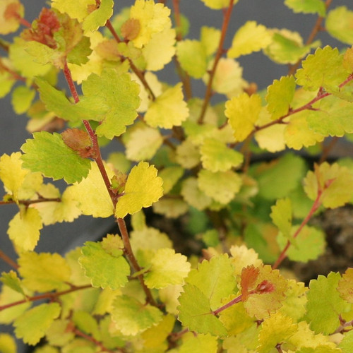 Cesky Gold Dwarf Birch with Yellow Foliage