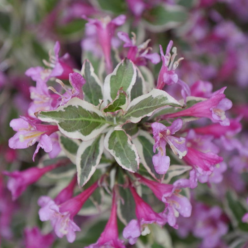 My Monet Purple Effect Weigela with Purple Blooms Up Close