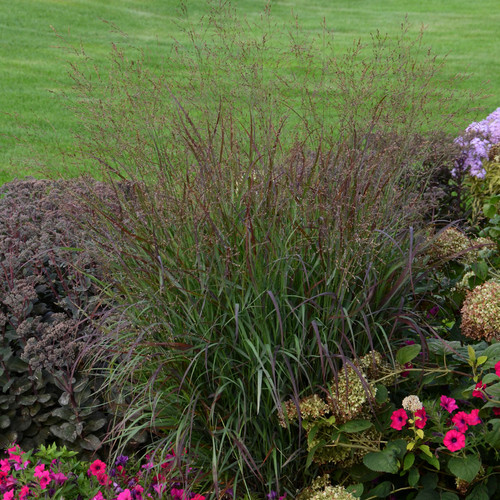 Prairie Winds® Cheyenne Sky Switch Grass in the Garden