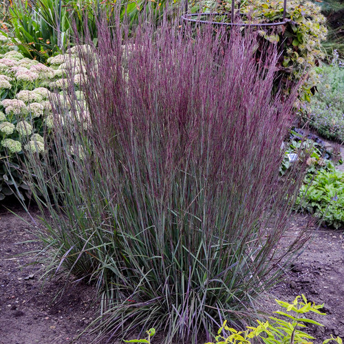 Prairie Winds Blue Paradise Little Bluestem Ornamental Grass in Landscape