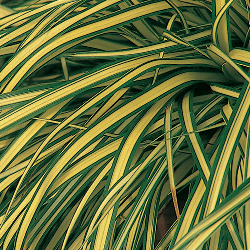 Evergold Sedge with Variegated Foliage