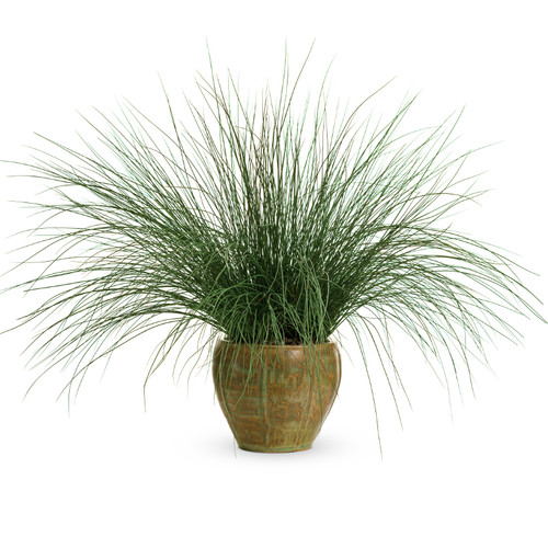 Graceful Grasses Blue Mohawk Soft Rush Grass in Garden Planter