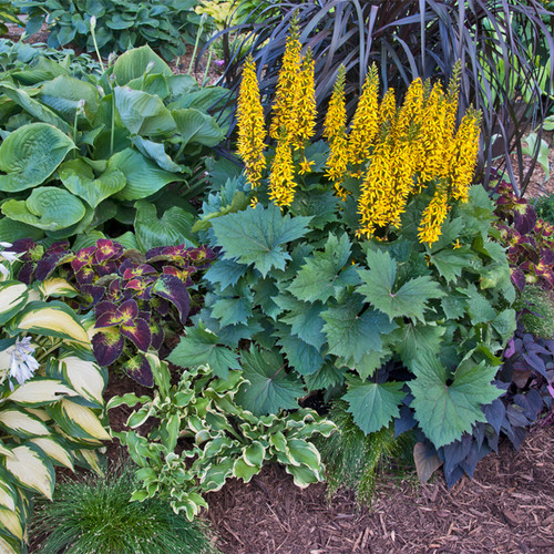 Bottle Rocket Ligularia with Yellow Flowers