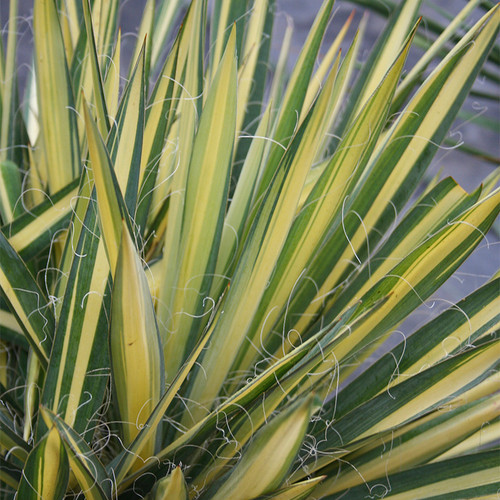 Color Guard Yucca Foliage
