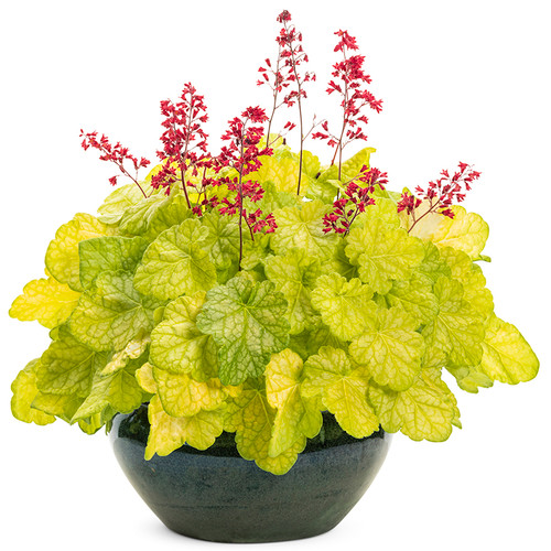 Dolce Appletini Coral Bells In Pot