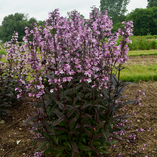 Penstemon Midnight Masquerade Blooming in Landscape