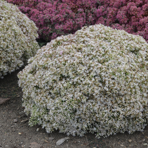 Rock N Round Bundle of Joy Stonecrop Sedum with White Blooms