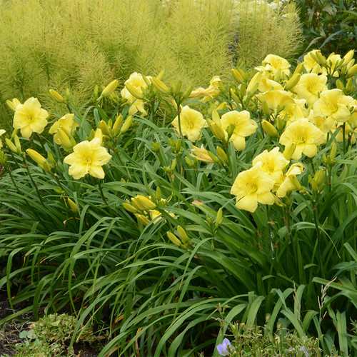 Rainbow Rhythm Going Bananas Daylily in Landscape