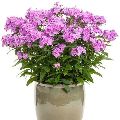 Cloudburst Phlox Blooming in a Pot