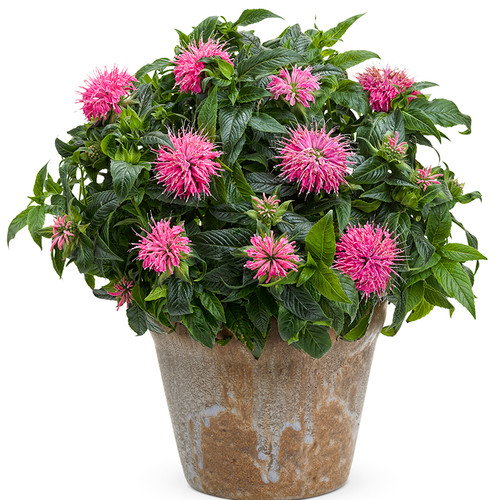 Pardon My Pink Bee Balm Blooming in Pot