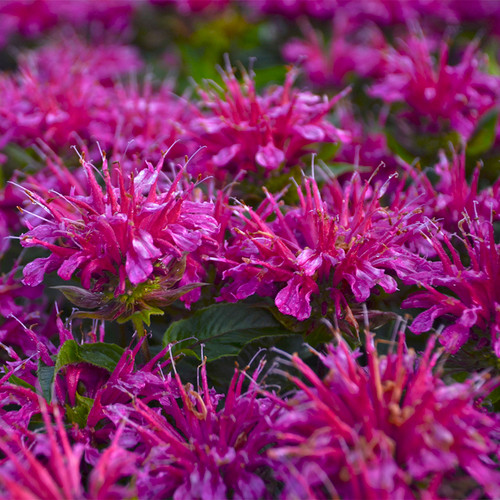 Pardon My Purple Bee Balm Purple Blooms Up Close