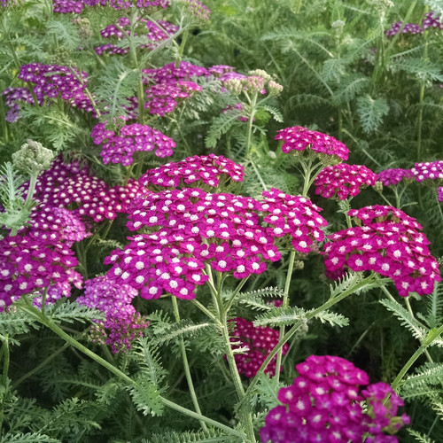 New Vintage Violet Yarrow with Purple Blooms