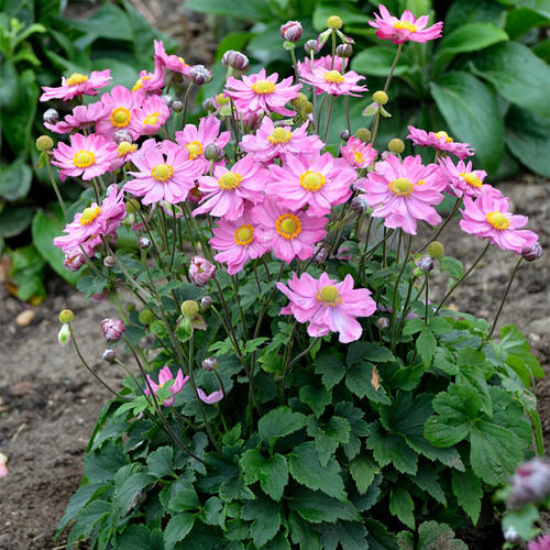 Curtain Call Pink Japanese Anemone with Light Pink Blooms