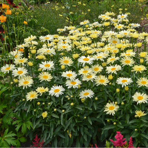 Amazing Daisies Banana Cream Shasta Daisy Blooming Yellow Flowers