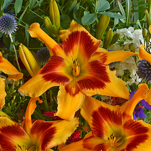 Rainbow Rhythm Tiger Swirl Daylily with Red Yellow Flowers