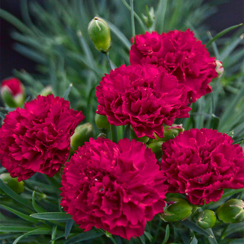 Fruit Punch Cranberry Cocktail Pinks Dianthus with Red Blooms
