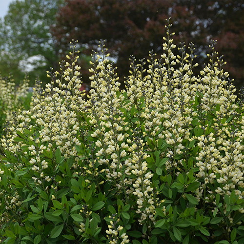 Decadence Vanilla Cream False Indigo in Landscaping