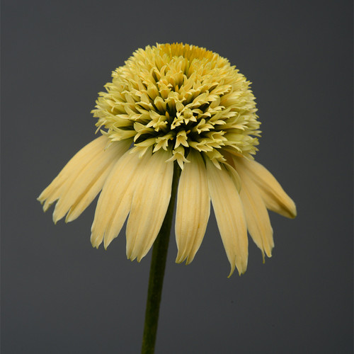 Double Scoop Lemon Cream Coneflower Yellow Blooms Up Close
