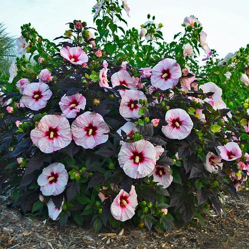 Summerific Perfect Storm Hibiscus Bush
