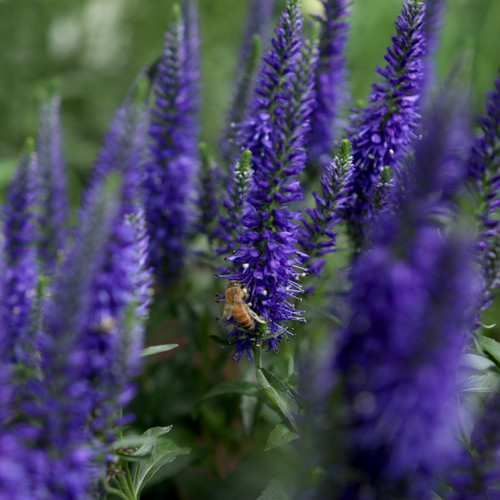 Magic Show Wizard of Ahhs Spike Speedwell Purple Blooms Up Close With Bee