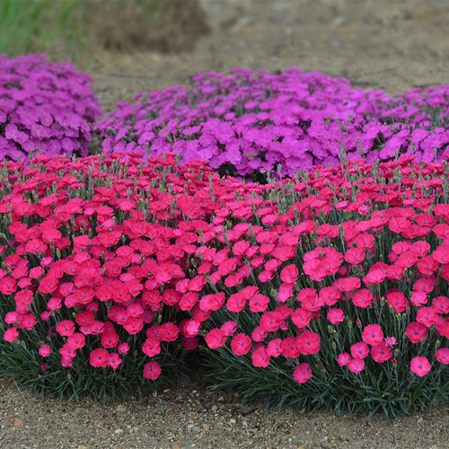 Paint the Town Magenta Pinks Dianthus with Pink Blooms