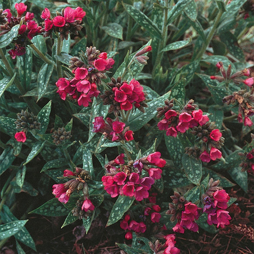 Raspberry Splash Lungwort with Red Blooms