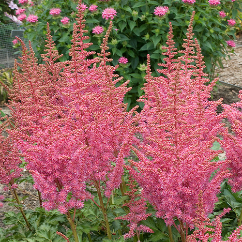 Rise and Shine Astilbe Blooming