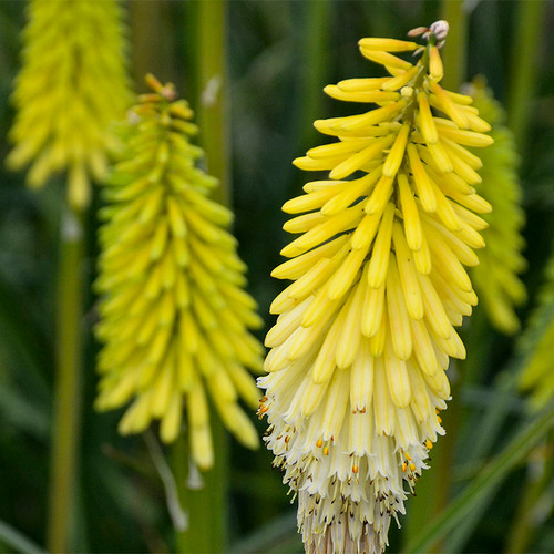 Pyromania Flashpoint Red Hot Poker with Yellow White Blooms