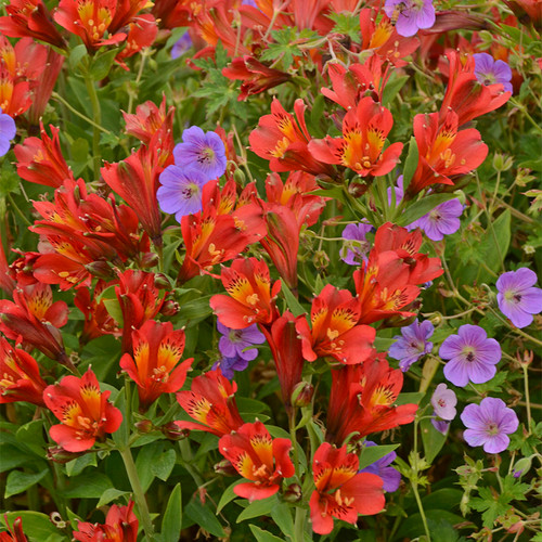 Inca Joli Peruvian Lily with Red Blooms