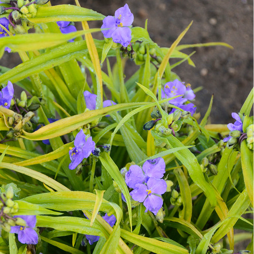 Tradescantia Charlottes Web Purple Blooms