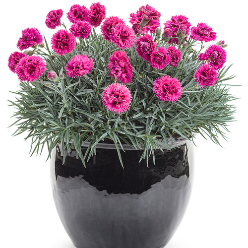 Fruit Punch Spiked Punch Pinks Dianthus in Pot with Pink Blooms
