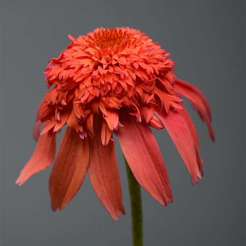 Double Scoop Mandarin Coneflower Orange Bloom Up Close