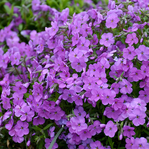 Purple Sprite Phlox with Purple Blooms