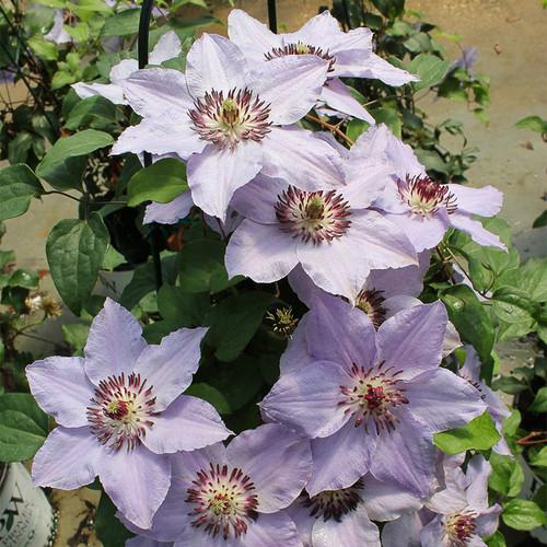 Still Waters Clematis Blooming Purple Flowers