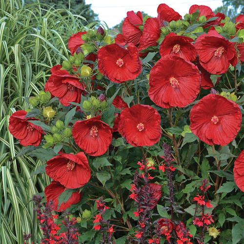 Summerific Cranberry Crush Hibiscus in Landscape