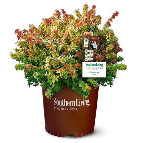 Kaleidoscope Abelia in Branded Pot Main