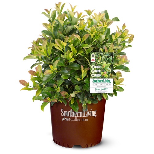 Sugar Cookie Viburnum in Branded Pot Main