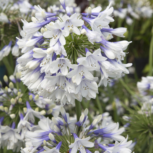 Indigo Frost Agapanthus Flowers Main