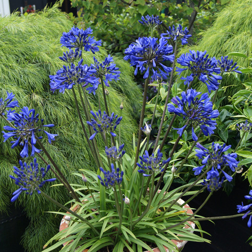 Little Blue Fountain Agapanthus Plants Blooming in Garden Planter Main
