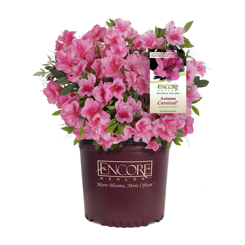 Autumn Carnival Encore Azalea in Branded Pot Main
