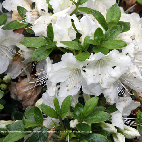Girard's Pleasant White Evergreen Azalea Flowers