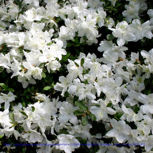 Delaware Valley White Azalea Covered in Flowers