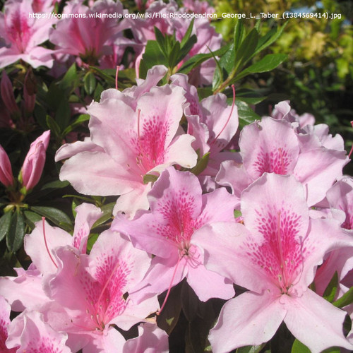 Pink and White George L. Taber Azalea Flowers