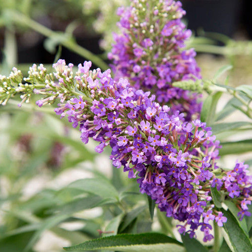 Ultra Violet Butterfly Bush Main