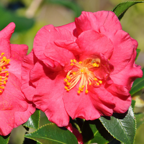 Pink Bella Rouge Camellia Flowers Main