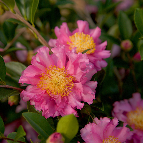 Pink October Magic Carpet Camellia Flowers and Foliage Main