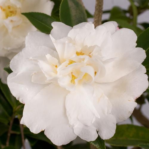 White Diana Camellia Flower and Foliage Main