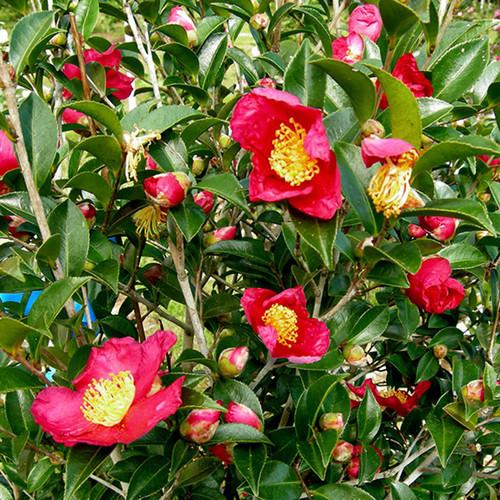 Yuletide Camellia Flowering Main