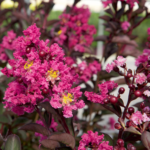 Pink Delta Fusion Crapemyrtle Flowers Main