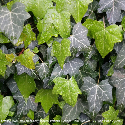 English Ivy with Water